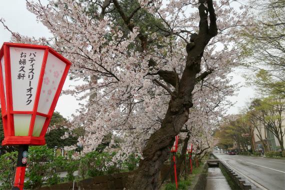 雨が降る金沢の桜並木