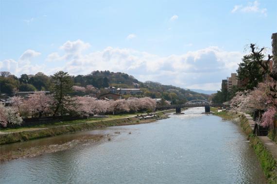 浅野川沿いの桜が見事