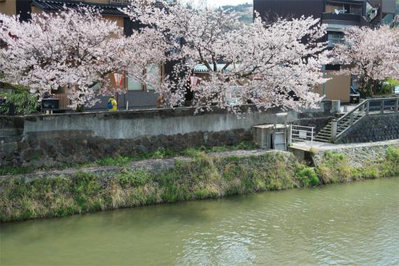 ひがし茶屋街と桜のコラボレーション