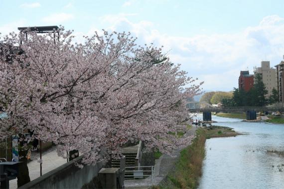 浅野川沿い金沢の桜の名所の1つ