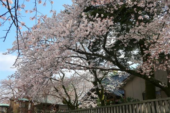 金沢の桜の名所
