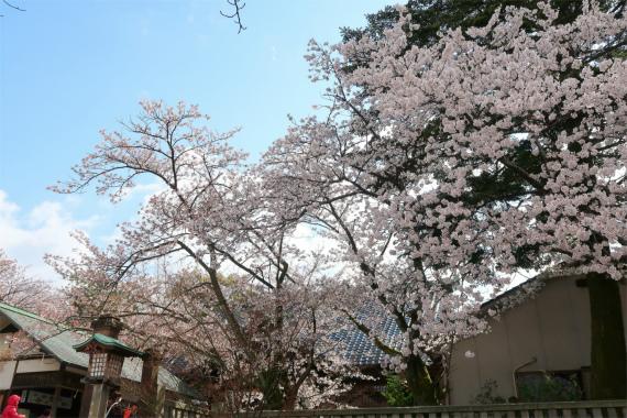 神社周辺に桜の木