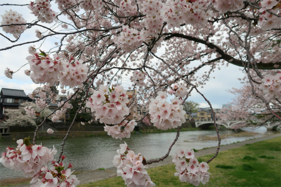 金沢の桜の名所浅野川を散策
