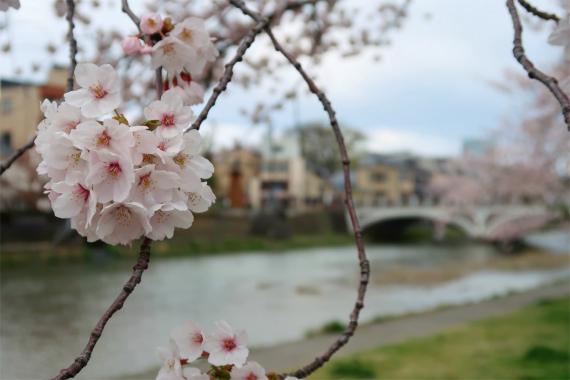 桜が満開浅野川