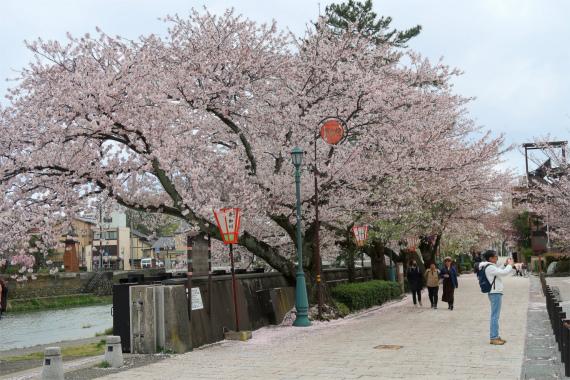 浅野川満開の桜が見事