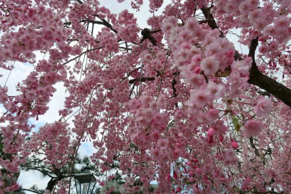 浅野川枝垂桜