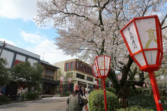 兼六園周辺の桜の花の見頃時期4月17日桜の状況