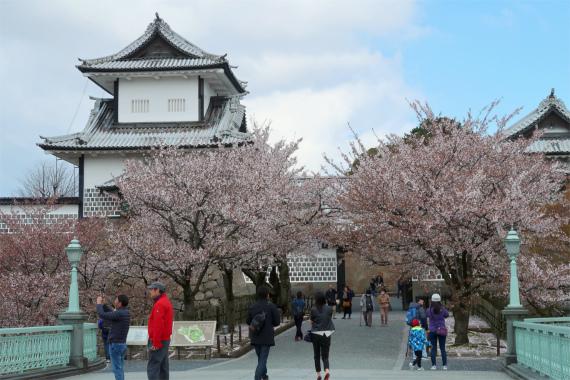 、兼六園の桜の満開の時期