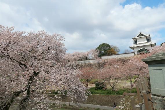 兼六園の桜の開花