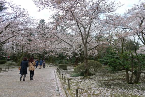 兼六園の桜木々