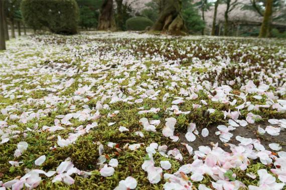 桜は開花してから一週間前後で満開