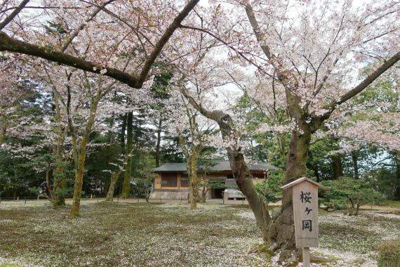 兼六園の桜の見どころ桜ヶ岡