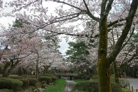 霞ヶ池周辺の桜も満開