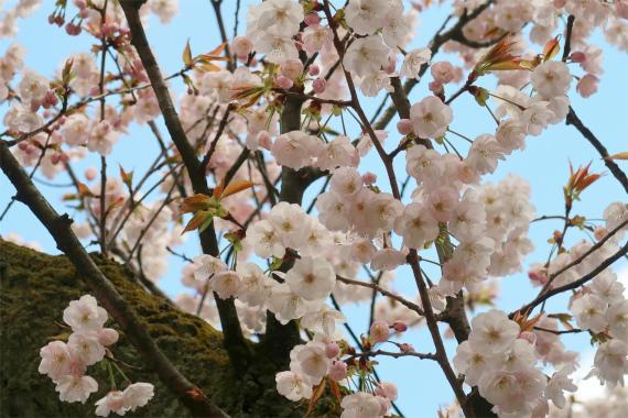 満開の桜の時期に兼六園