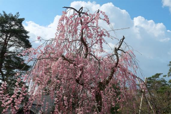 日本武尊像周辺の枝垂れ桜