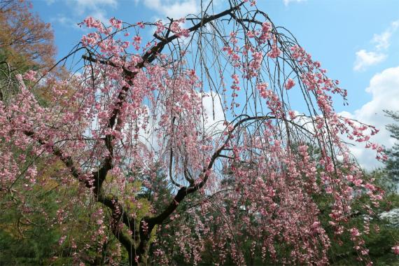 兼六園梅の木も沢山植わってました
