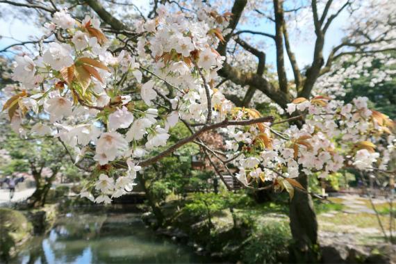 瓢池周辺も桜の木が多く満開