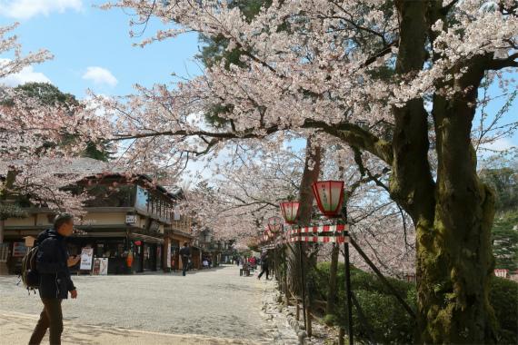 兼六園周辺桜並木