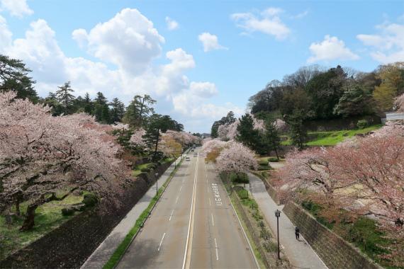 が金沢城公園周辺の桜の様子