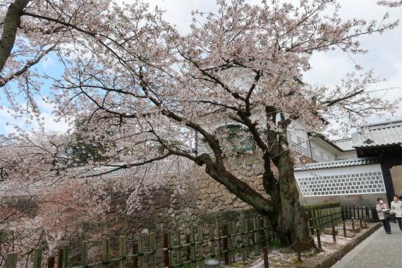 金沢城の石川門桜が満開