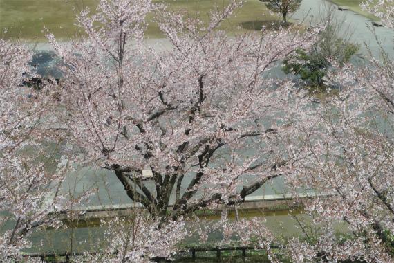 お城とお堀と桜のコンビネーション