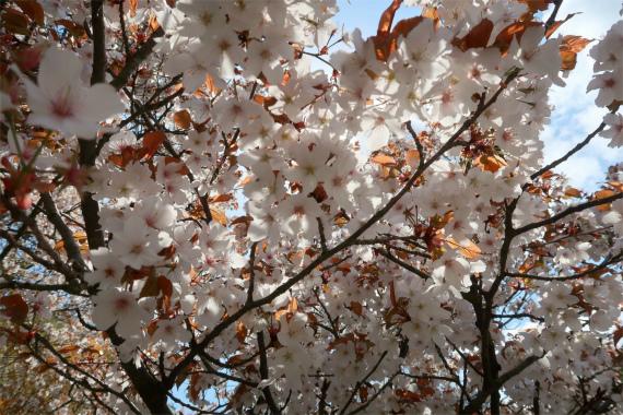 金沢城の桜が満開お花見