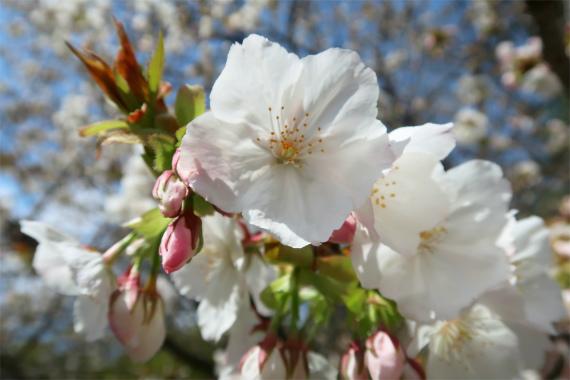 金沢城の桜並木