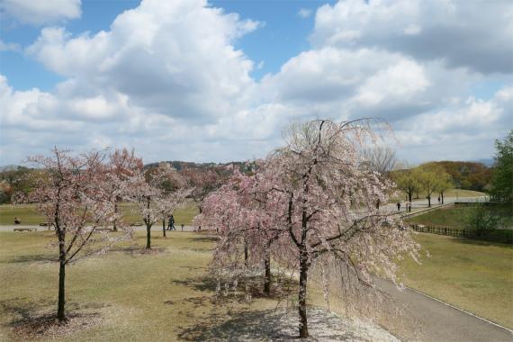 金沢城の枝垂桜