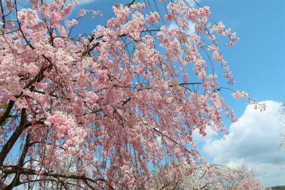 枝垂桜と青空
