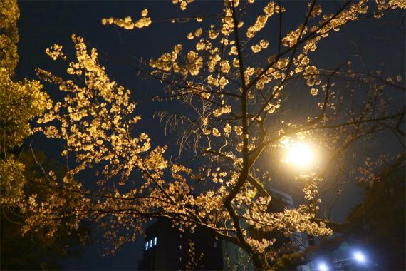 尾山神社の夜桜