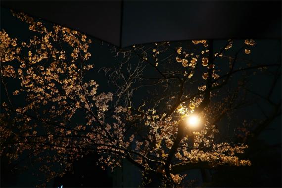 金沢の夜を彩る美しい夜桜