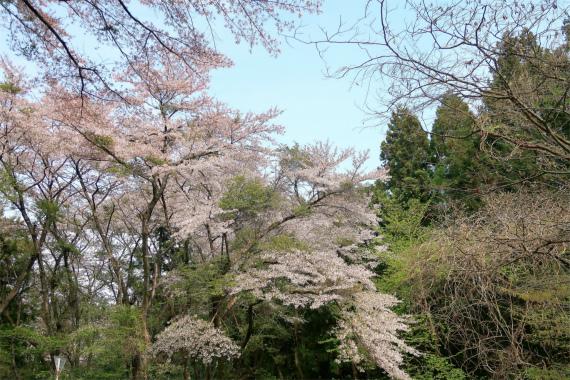 桜がモリモリ咲いてた