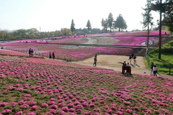 菖蒲田口から入園すると直ぐに芝桜の絶景