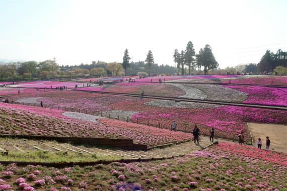 芝桜の丘斜面の芝桜