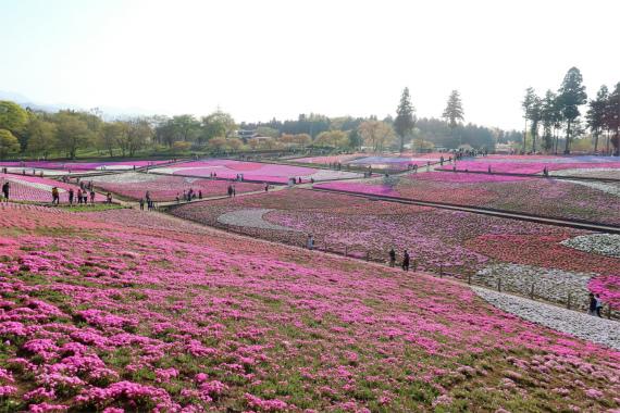 GWが終わった後も芝桜の花を楽しむことが出来る