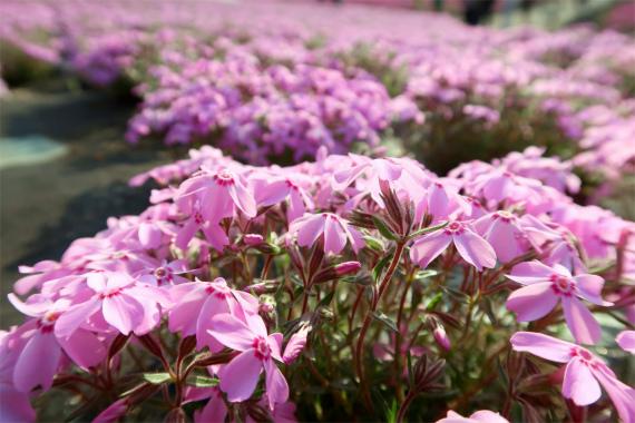 マクロ病を患っているカメラ愛好家芝桜の花絶好の被写体