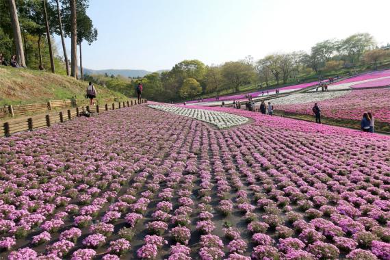芝桜のお花が絨毯