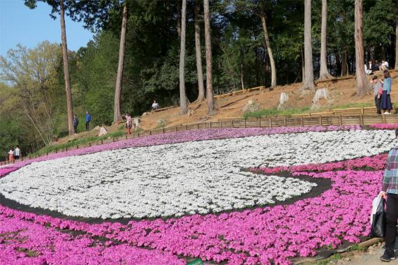 ♡の形をした芝桜の花