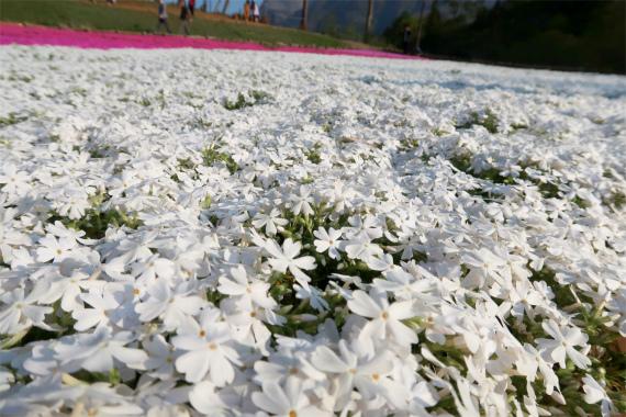 純白の芝桜