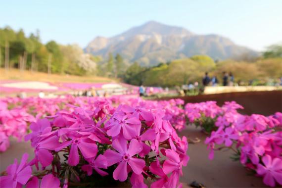 武甲山と芝桜コラボ