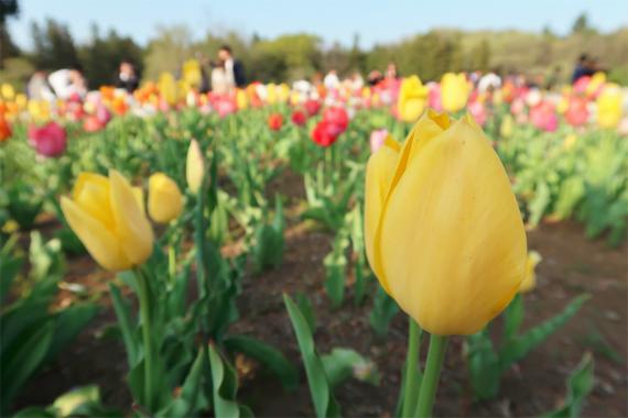 チューリップの花もモリモリ咲いている