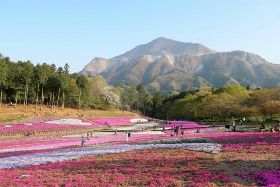 羊山公園の芝桜祭りと武甲山