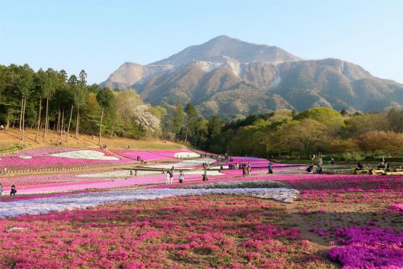 羊山公園の芝桜と武甲山の雄姿のコラボレーション