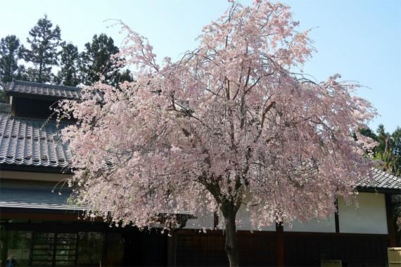 羊山公園周辺枝垂桜