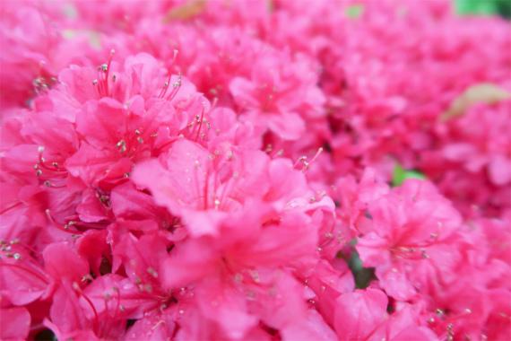 小田原城ツツジの花