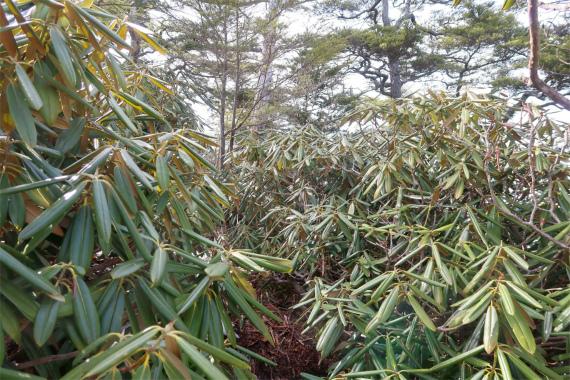 唐松尾山登山シャクナゲの藪が煩い所