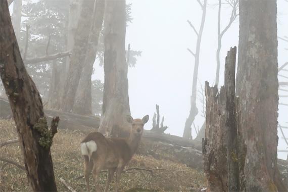 破風山避難小屋の周辺でシカの群れ