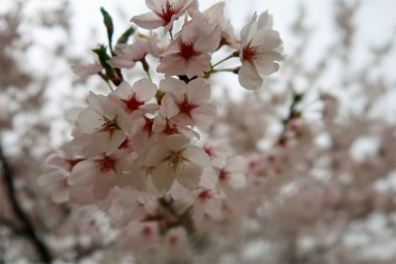 広瀬湖周辺桜が満開