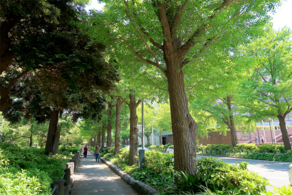 山下公園周辺を黄色く彩る銀杏並木新緑