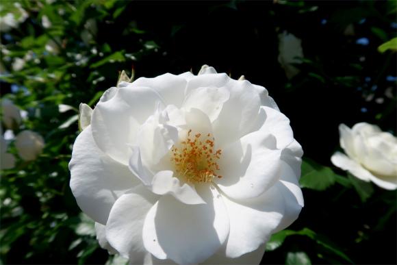 山下公園の純白のバラ